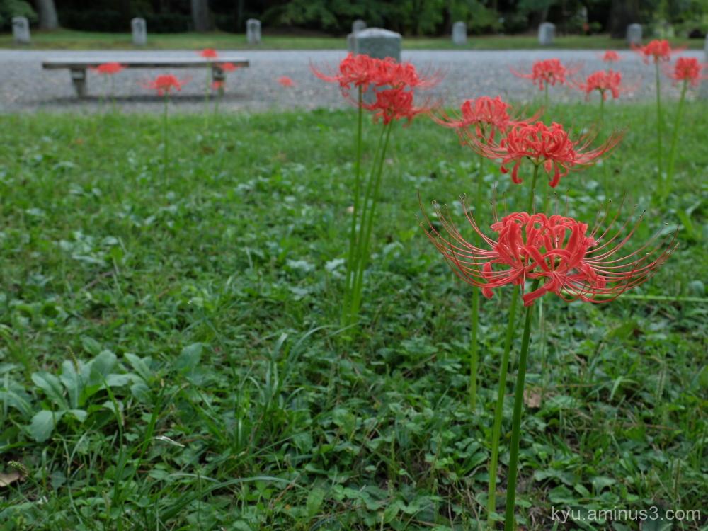 cluster-amaryllis field Gosho Kyoto