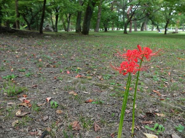 cluster-amaryllis Gosho Kyoto