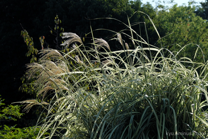 Japanese-pampas grass Umekoji park Kyoto