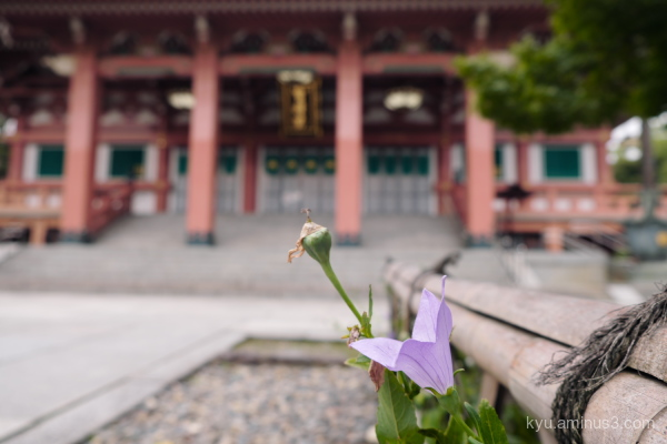 Japanese-bellflower Chishakuin temple Kyoto