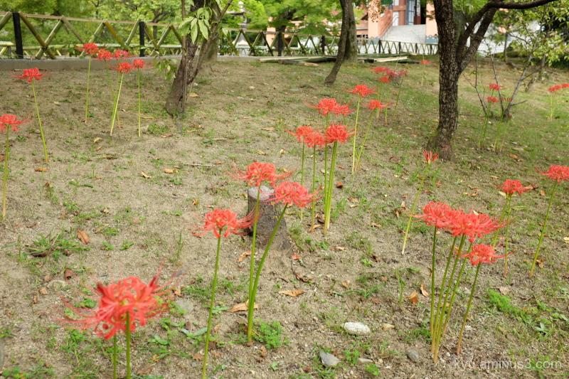walk cluster-amaryllis Chishakuin temple Kyoto