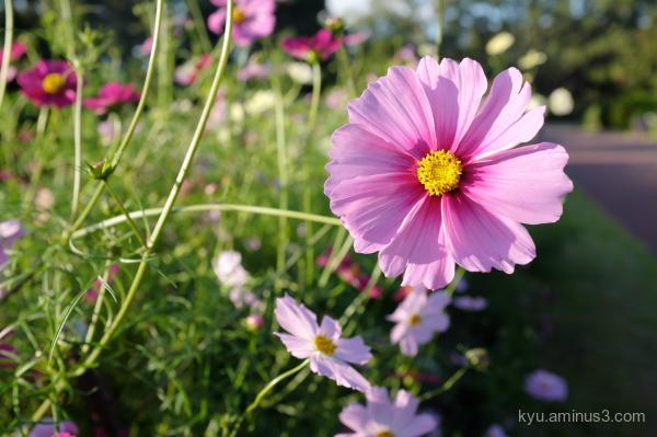 cosmos flower botanical-garden Kyoto