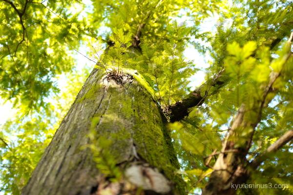 sequoia tree botanical-garden Kyoto