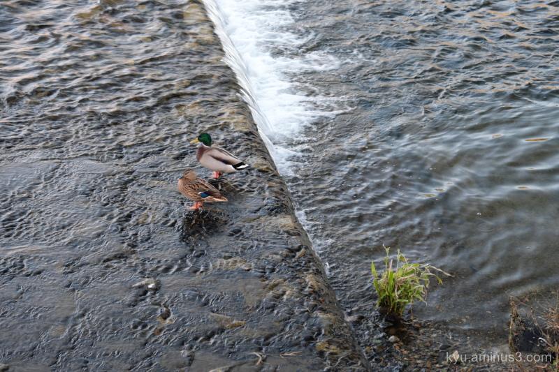 couple ducks Kamogawa river Kyoto