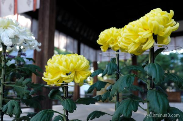 chrysanthemum flowers Goryojinjya shrine Kyoto