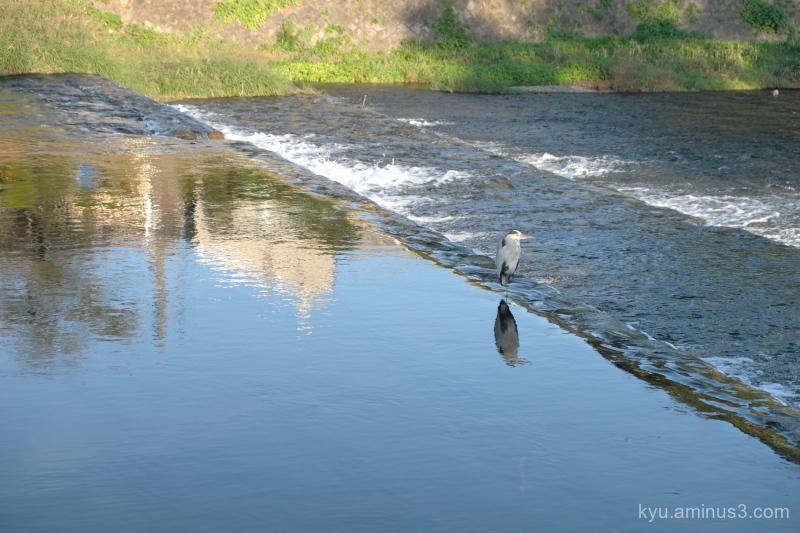 heron Kamogawa river Kyoto