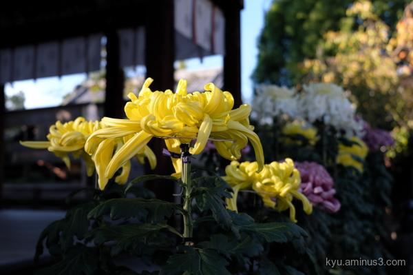 chrysanthemum flower Goryojinjya shrine Kyoto