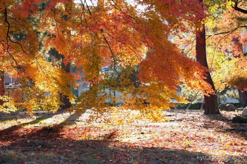 autumn red-maple Shokokuji temple Kyoto
