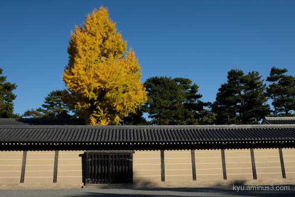 autumn ginkgo Gosho Kyoto