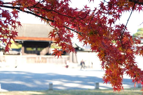 autumn red-maple Gosho Kyoto