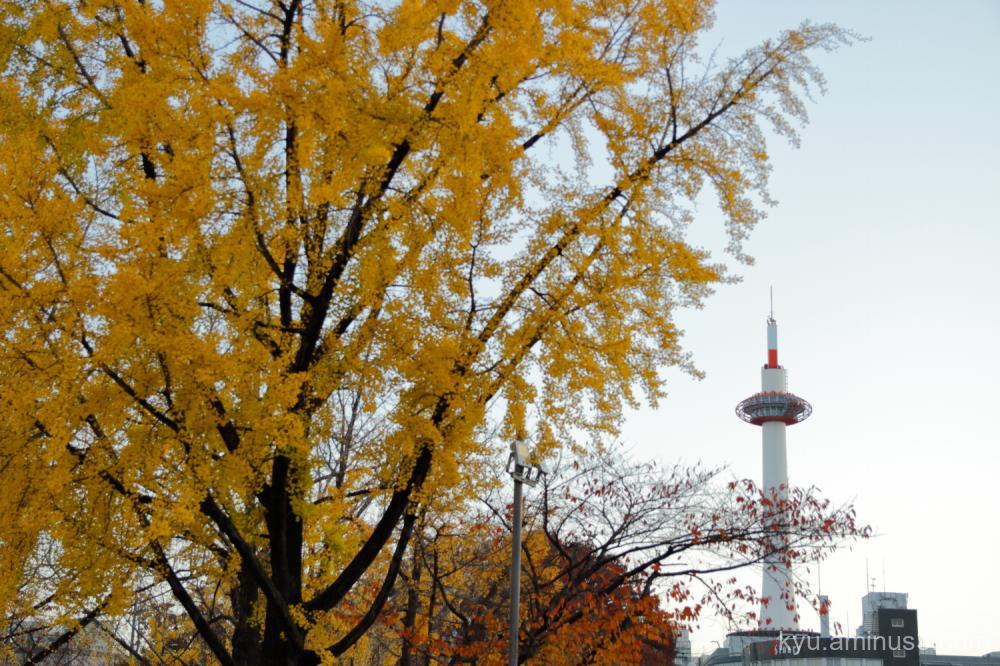 autumn ginkgo Kyoto-tower
