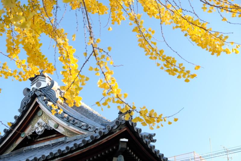 autumn ginkgo Bukkoji temple
