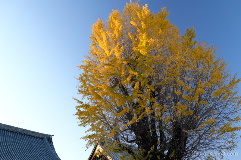 autumn ginkgo afternoon-light Bukkoji temple Kyoto
