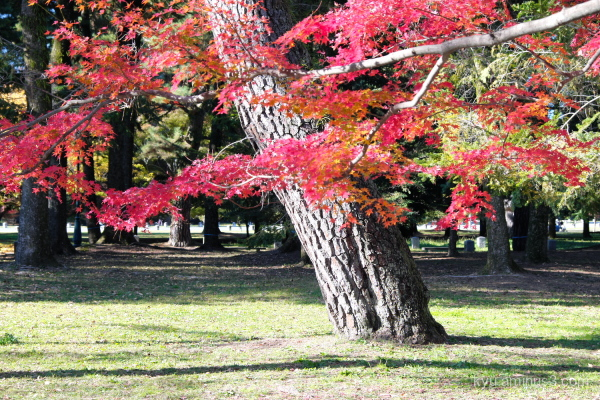 autumn red-maple Gosho Kyoto