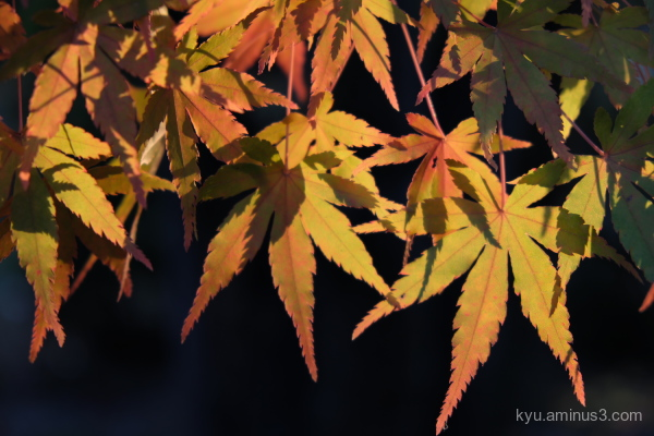 afternoon-light red-maple Kyoto