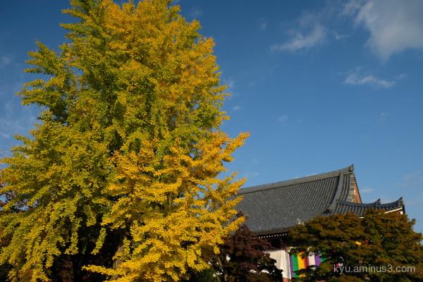 blue-sky gingko Chishakuin temple Kyoto