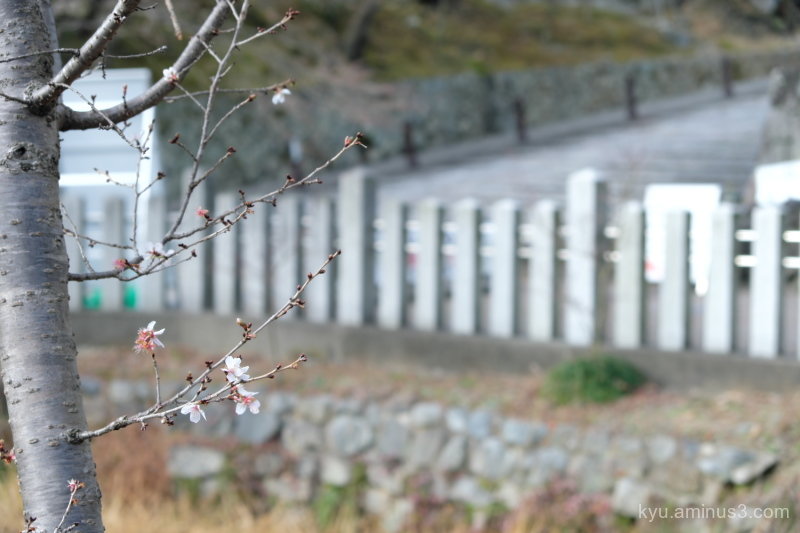winter cherry-blossoms