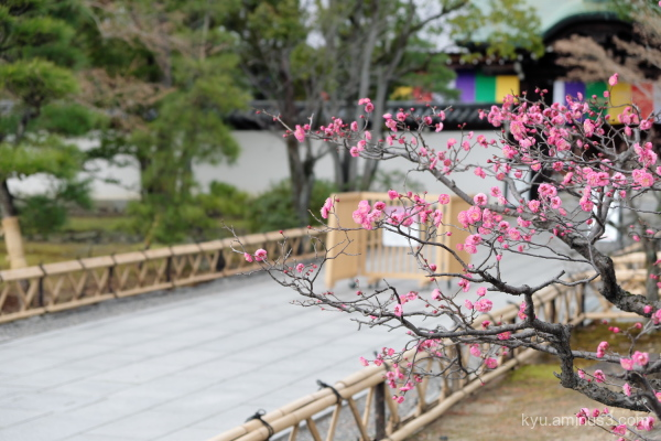 Japanese-plum blossoms Chishakuin temple Kyoto