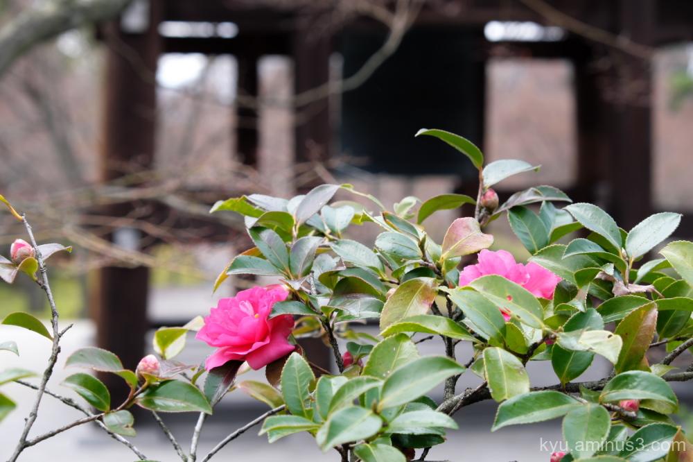 sasanqua blossoms Chishakuin temple Kyoto