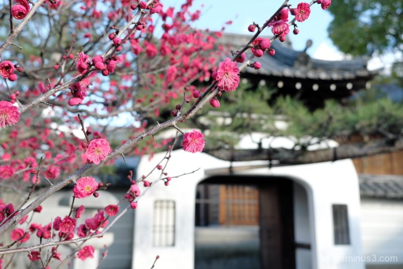spring Japanes-plum blossoms Hojyuji temple Kyoto