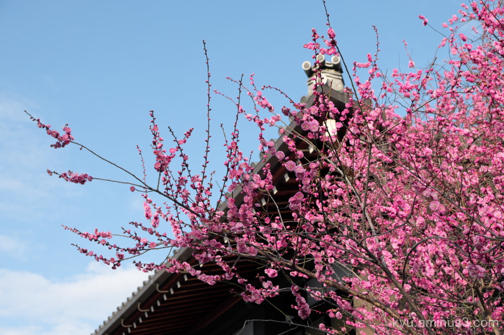 Japanese-plum blossoms Koshoji temple Kyoto