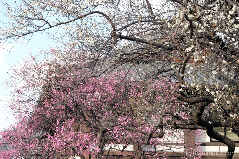 Japanese-plums blossoms Koshoji temple Kyoto