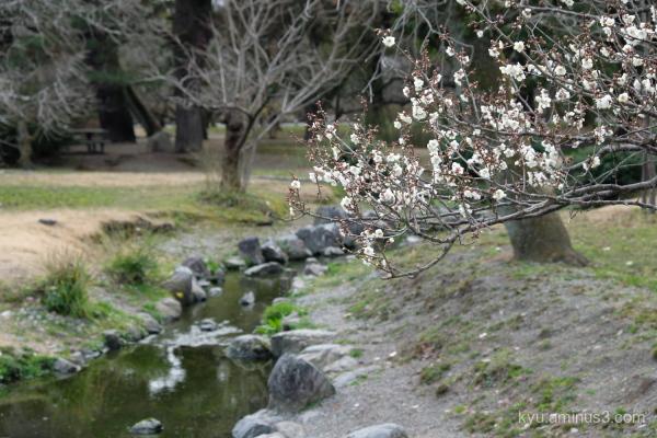 Japanese-plum blossoms Gosho Kyoto