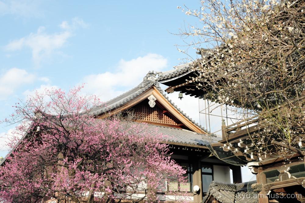 Japanese-plum blossoms Koshoji temple Kyoto