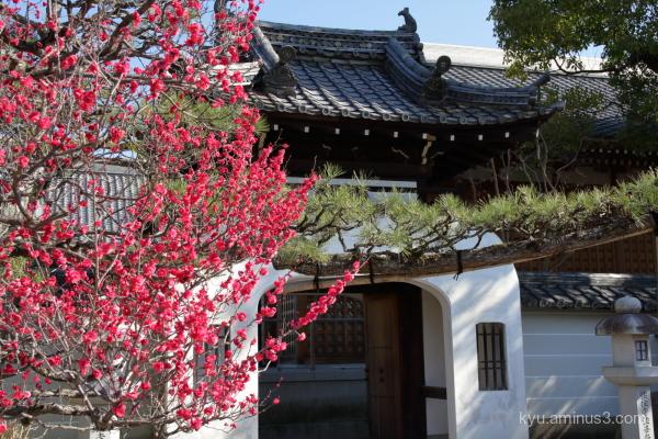 Japanese-plum blossoms Hojyuji temple Kyoto