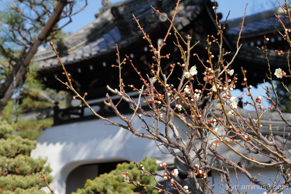 spring Japanese-plum blossoms Hojyuji temple