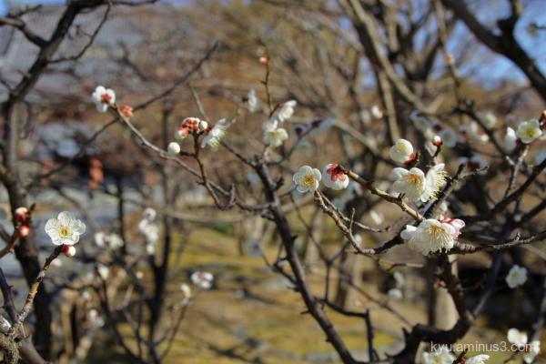 Japanese-plum blossoms Chishakuin temple Kyoto