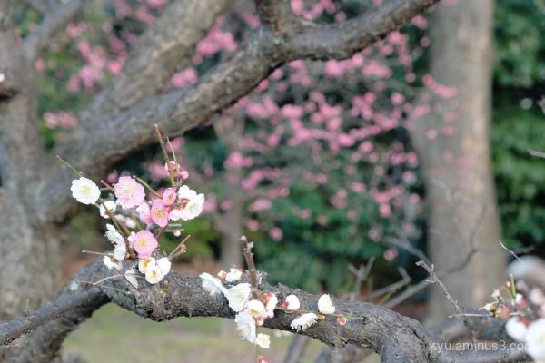 Japanese-plum blossoms Umekoji park Kyoto