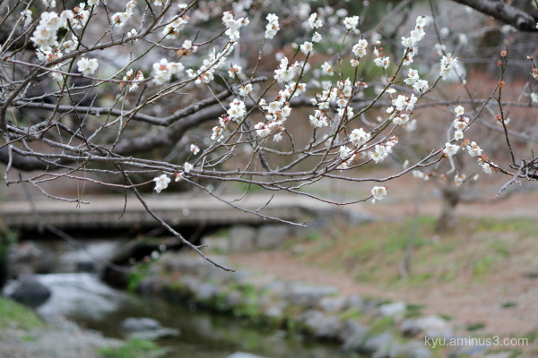 afternoon spring Japanese-plum blossoms stream Gos