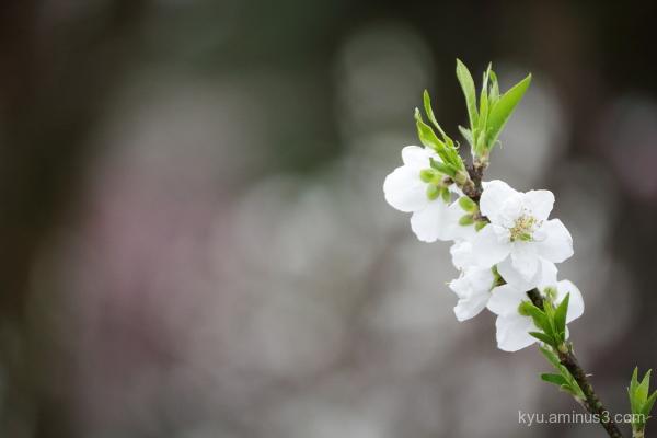 spring peach blossoms Gosho Kyoto