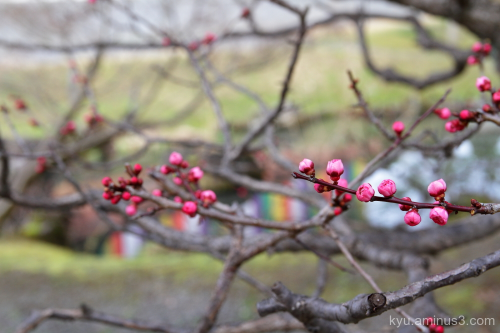 spring buds Japanese-plum Chishakuin temple Kyoto