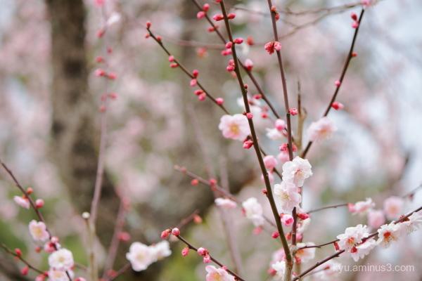 spring Japanese-plum blossoms Gosho Kyoto