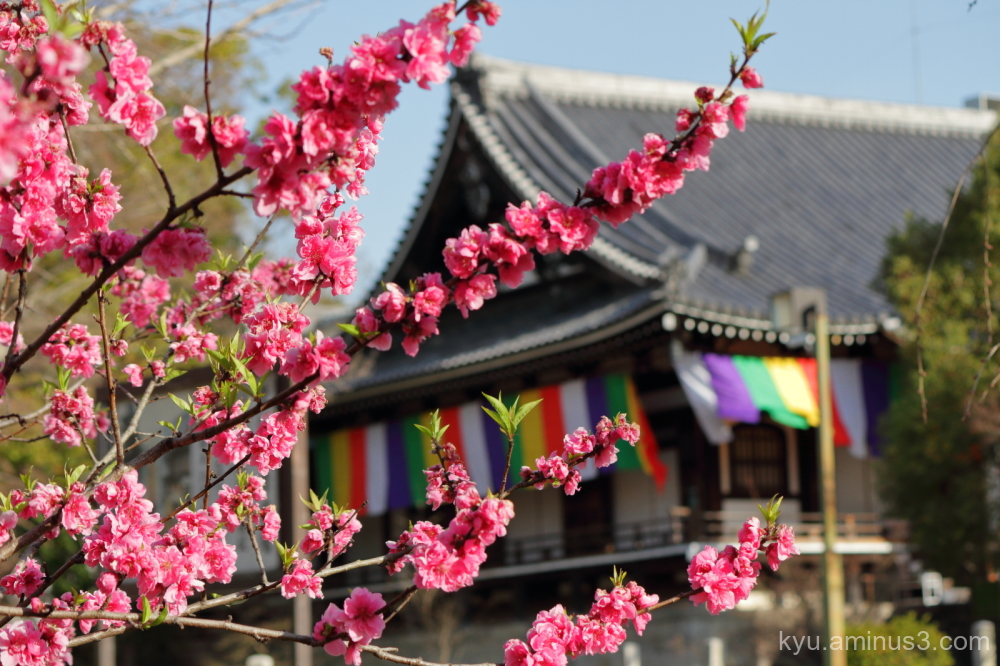 spring peach blossoms Chishakuin temple Kyoto
