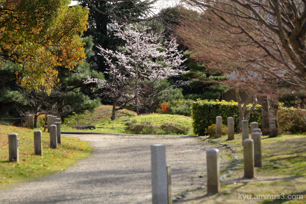 spring cherry blosdsoms Chishakuin temple Kyoto