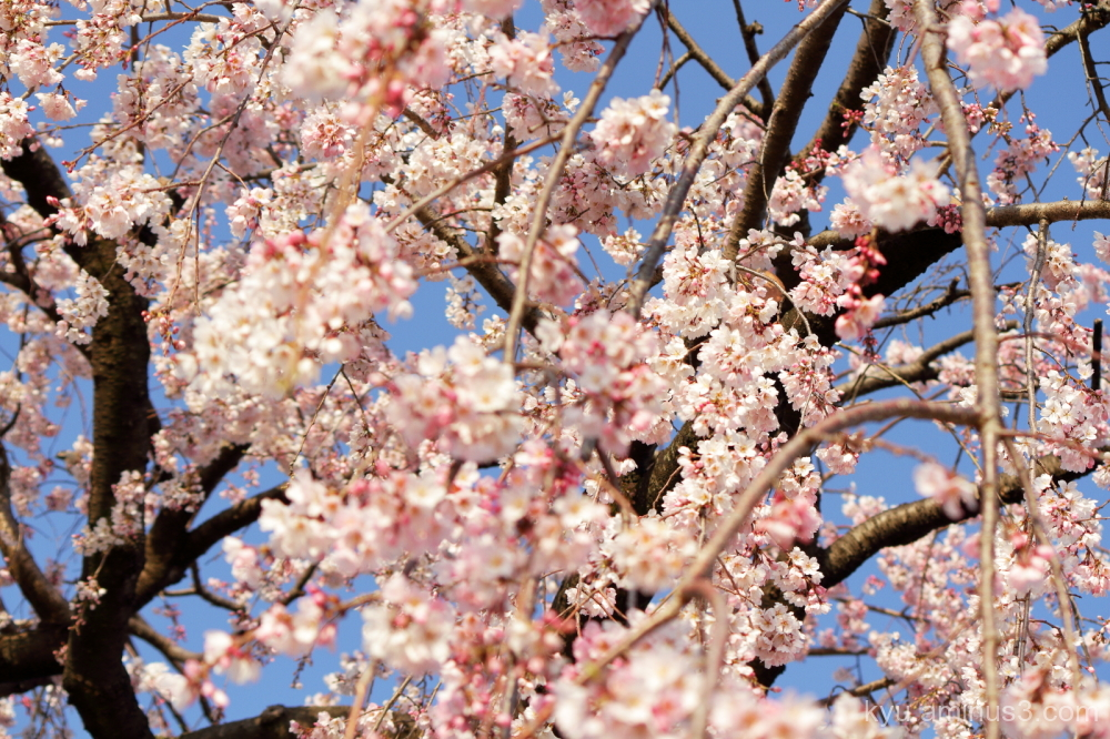 cherry blossoms full-bloom Kamogawa river Kyoto