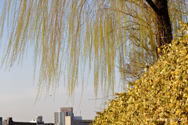 spring weeping-willow Kamogawa river Kyoto