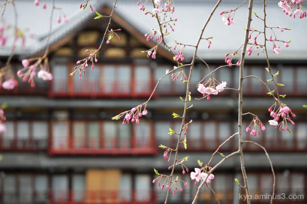 dro0ping-cherry blossoms Kyoto