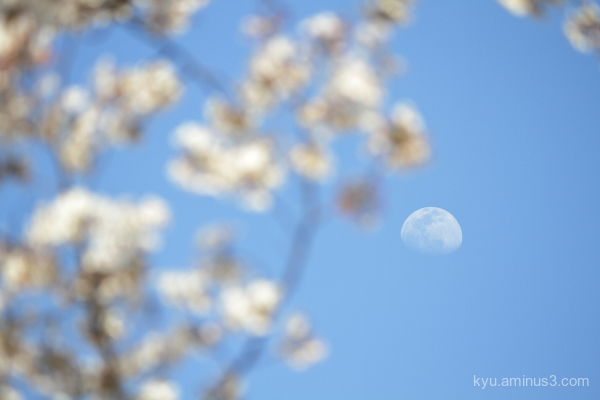 moon cherry blossoms
