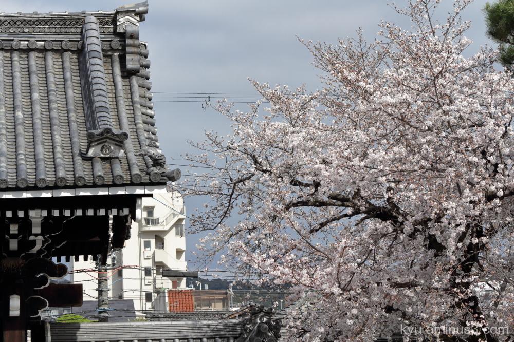 cherry blossoms blooming Bukkoji temple Kyoto