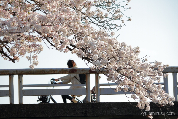 cherry blossoms bridge