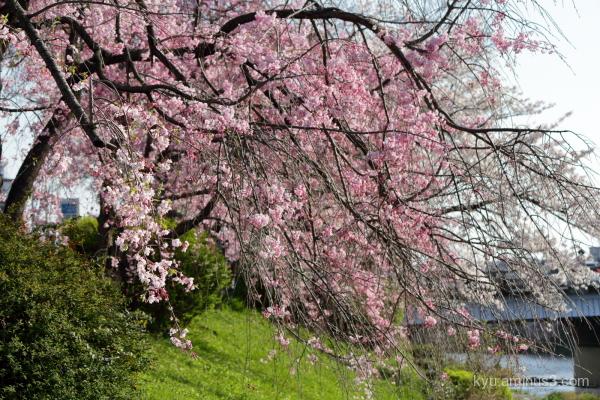 drooping-cherry blossoms Kamogawa river Kyoto
