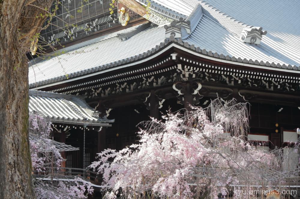 drooping-cherry blossoms Bukkoji temple Kyoto