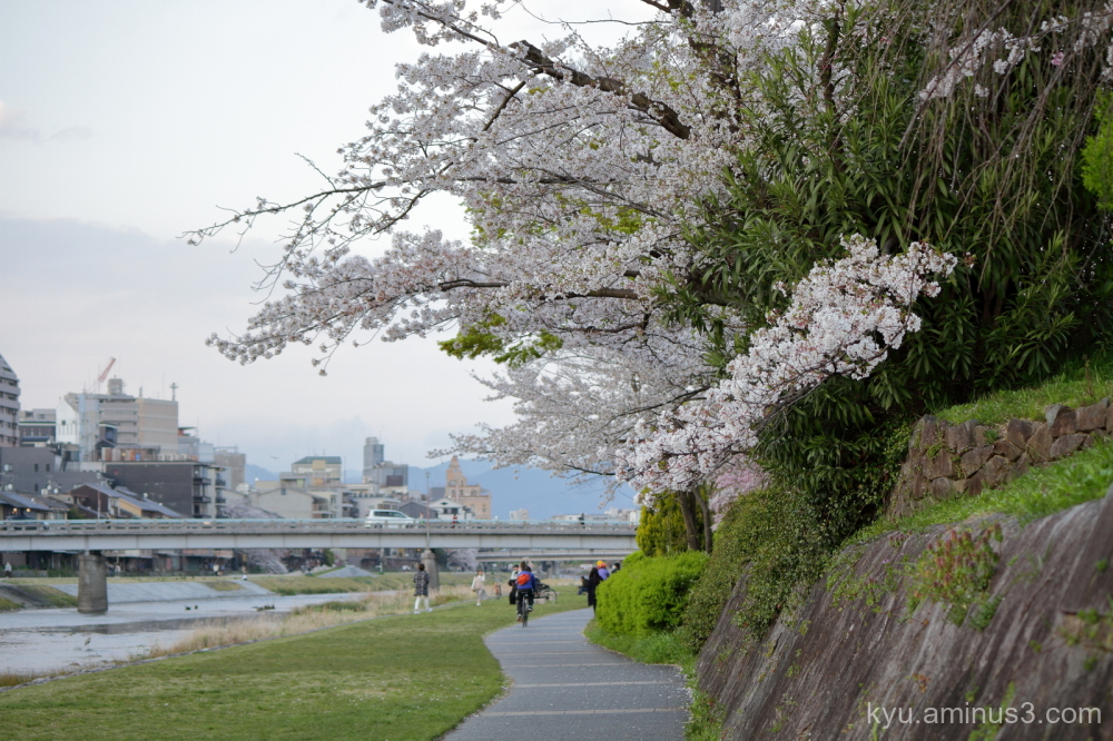 spring cherry blossoms Kamogawa river Kyoto