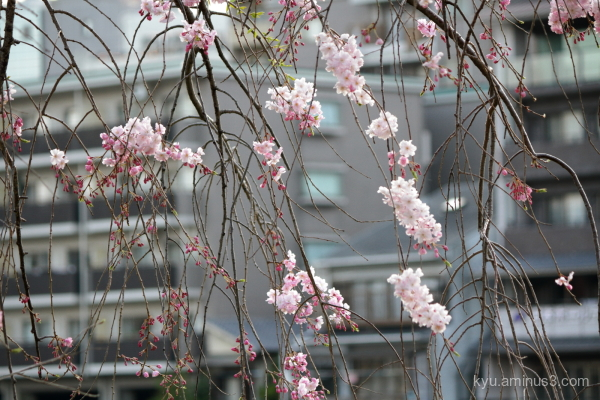 spring drooping-cherry blossoms building kyoto