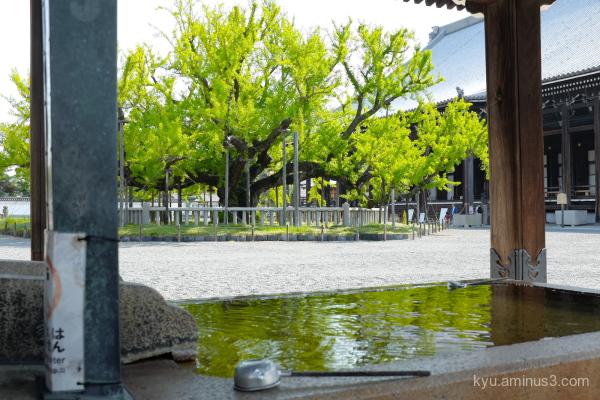 fresh-green ginkgo Nishihonganji temple Kyoto