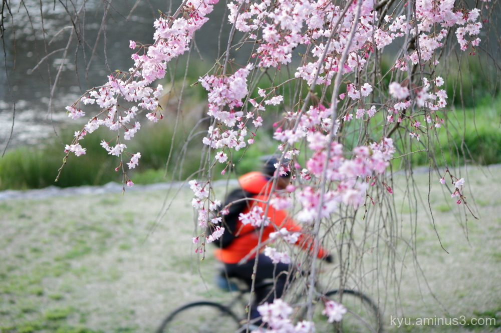 cherry-blossoms bicycle Kamogawa river Kyoto